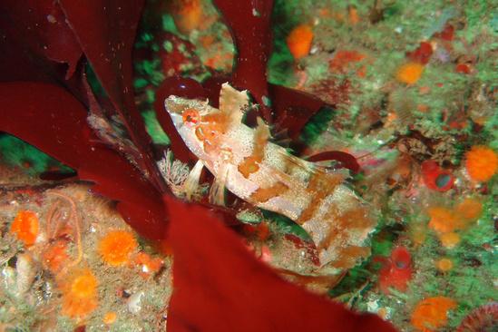 crevice_kelpfish11.jpg