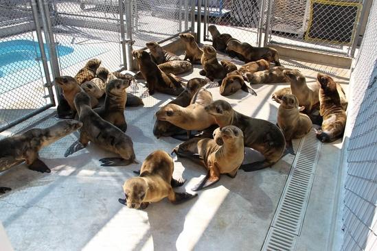 California Sea Lions in Rehab