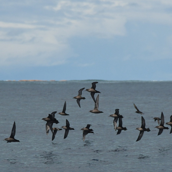 05_short-tailed shearwaters.JPG