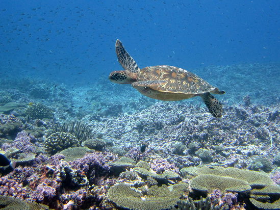 Sea turtle swims above coral reef at Baker Island