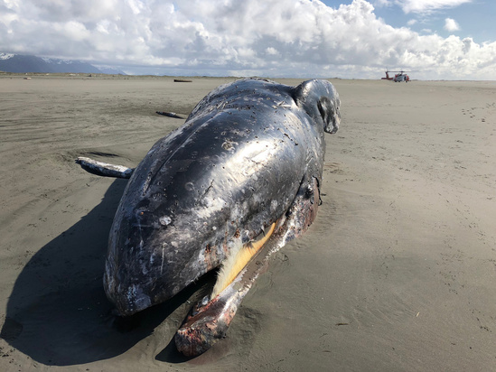 2000x1500 cordova gray whale.jpg