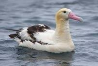 short-tailed-albatross.jpg