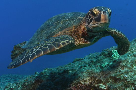 Green turtle at Midway Atoll