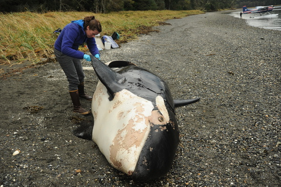 Necropsy of killer whale