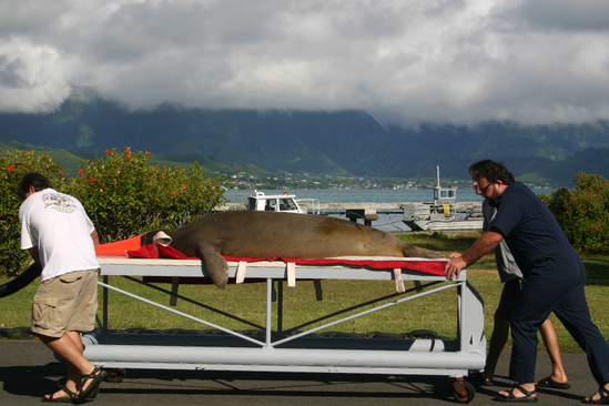 Hawaiian monk seal on a stretcher on his way to surgery.