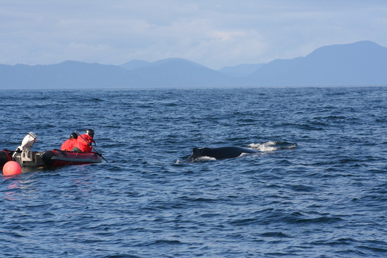 Stranding network attempting to disentangle a humpback whale