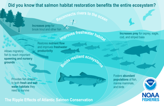 """This image is depicted in green colors and illustrates the science behind salmon conservation. It highlights examples of the """"ripple effects"""" and benefits for the environment with an illustration of expanding circles over a river connected to the ocean with an Atlantic salmon at the center. The salmon swims downstream to the right surrounded by a healthy ecosystem represented by fish eggs, smaller salmon, lamprey, dragonflies, an eel, and schooling rainbow smelt and river herring. In the background is an osprey and bald eagle to show the return of predators to a healthy ecosystem."""