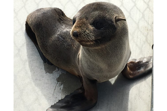 A Guadalupe fur seal.