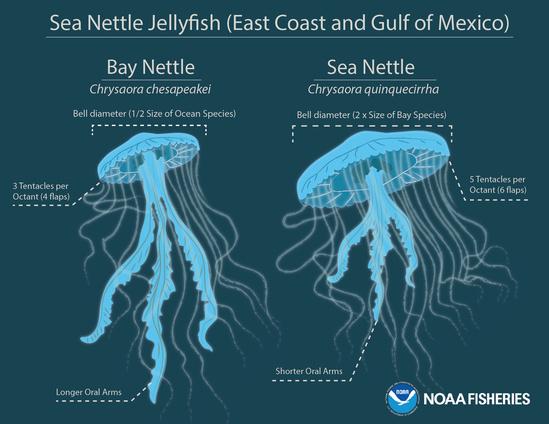 Jellyfish-infographic-final2.jpg