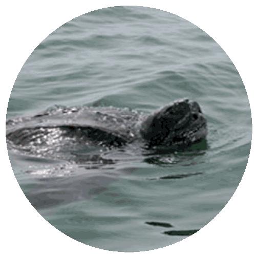 sea turtle 500x500.png