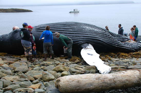 Necropsy of humpback whale