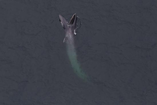 Sei whale feeding.