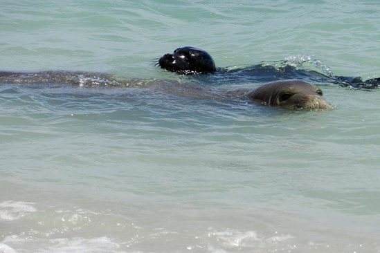 Two swimming Hawaiian monk seals.