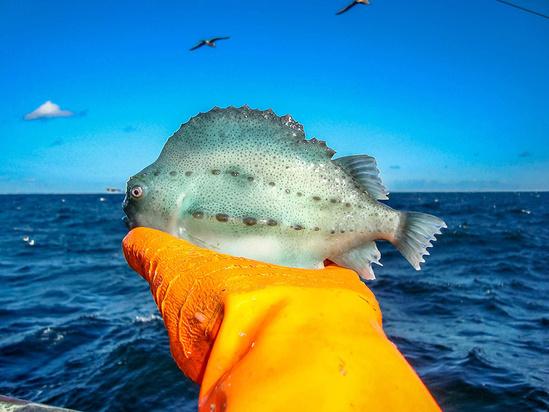 lumpfish.jpg