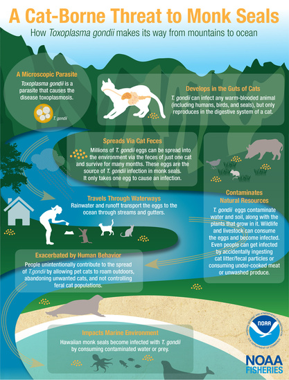 Infographic showing how the toxoplasmosis parasite makes its way from cats to the ocean