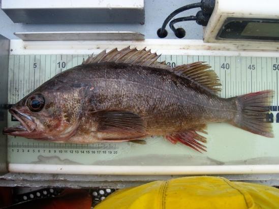 measuring-widow-rockfish-NOAA-NWFSC.jpg