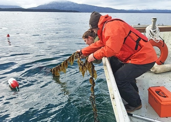 harvesting-kelp-ak.jpg