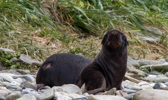 Steller sea lion pup
