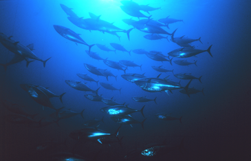 Photo of bluefin tuna from below with light filtering from above water.