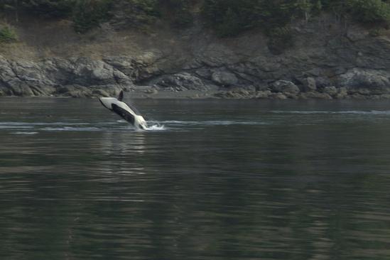 750x500-orca-NWFSC.jpg