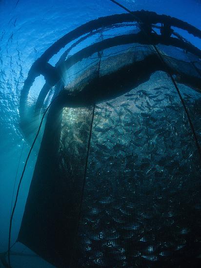 1907x2542-royal-bream-aquaculture-AQ.jpg