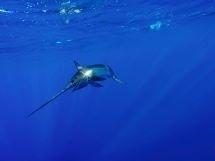 Resized swordfish.jpg
