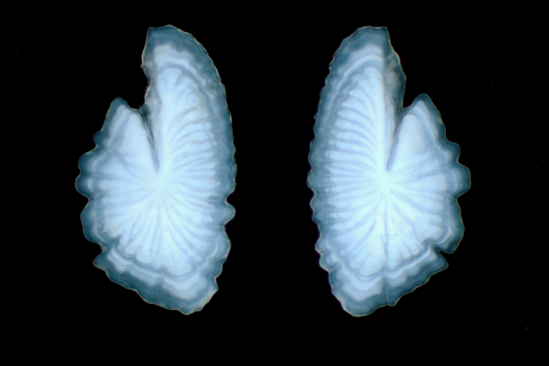 A pair of ear stones from a butterfish.