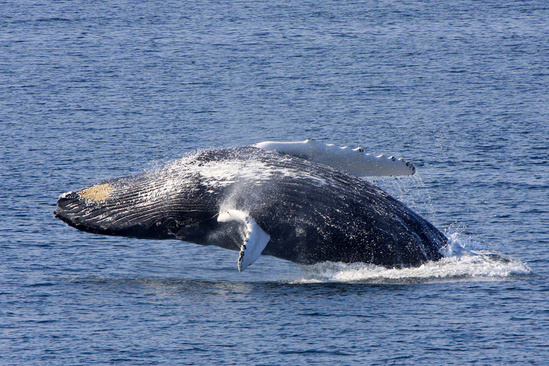humpback_0924_nefsc.jpg