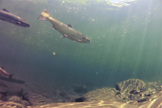 Two sea run Atlantic salmon swim in a holding pool on the Kennebec River, Maine.