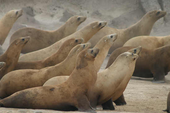 California sea lions on the move.