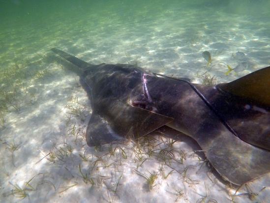 Entangeled smalltooth sawfish close.jpg