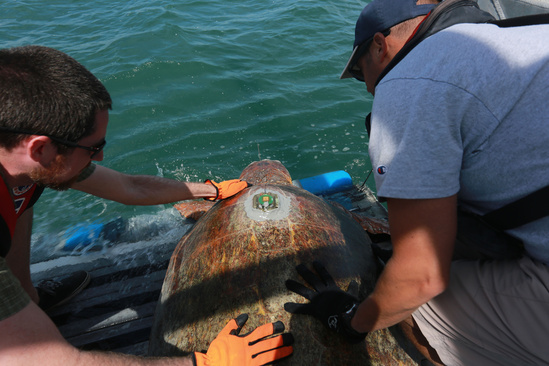 A tagged loggerhead is released