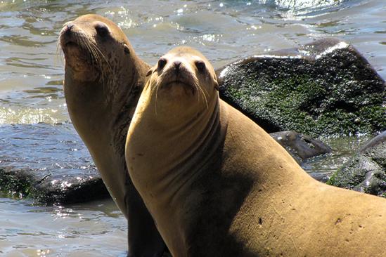 Two adult female California sea lions