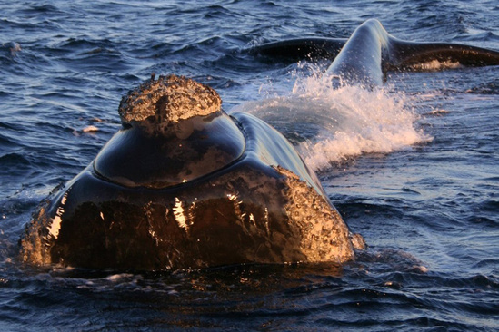 Southern right whale.