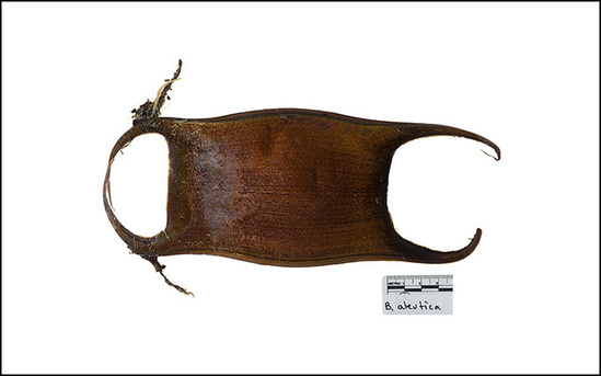 "Skate egg case with ""horns"""