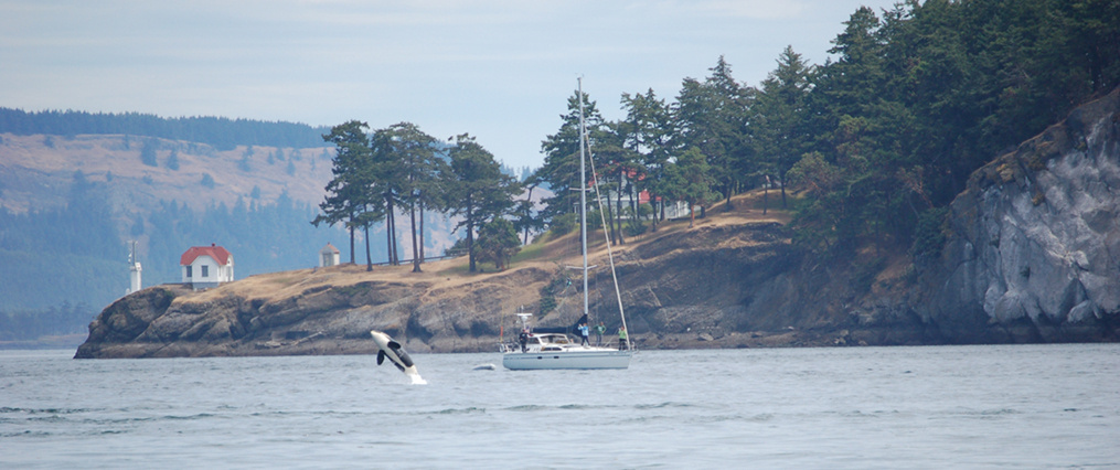 killer whale jumping with Lime Kiln State Park in background