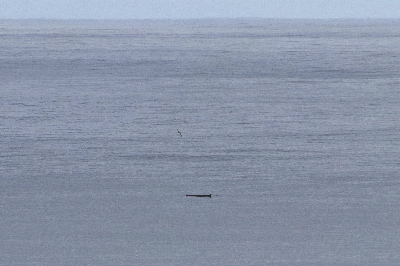 Even an evasive pygmy sperm whale are seen at the surface by visual observers.