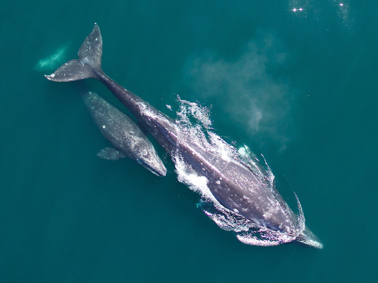 Gray whale cow-calf during northbound migration. Photo: NOAA Fisheries.