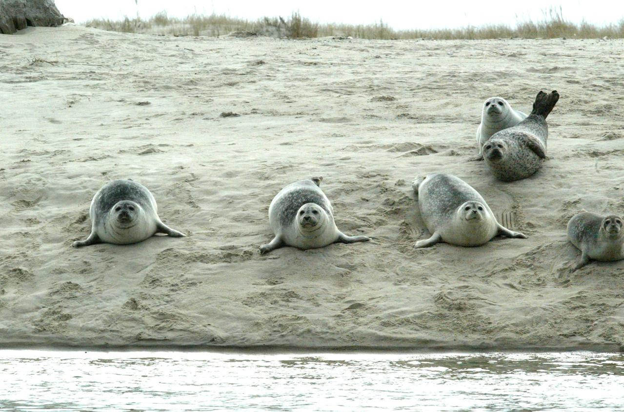 several harbor seals lying on beach