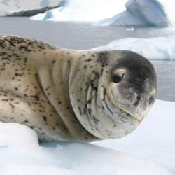 250x250-leopard-seal-NOAA-OPR.jpg
