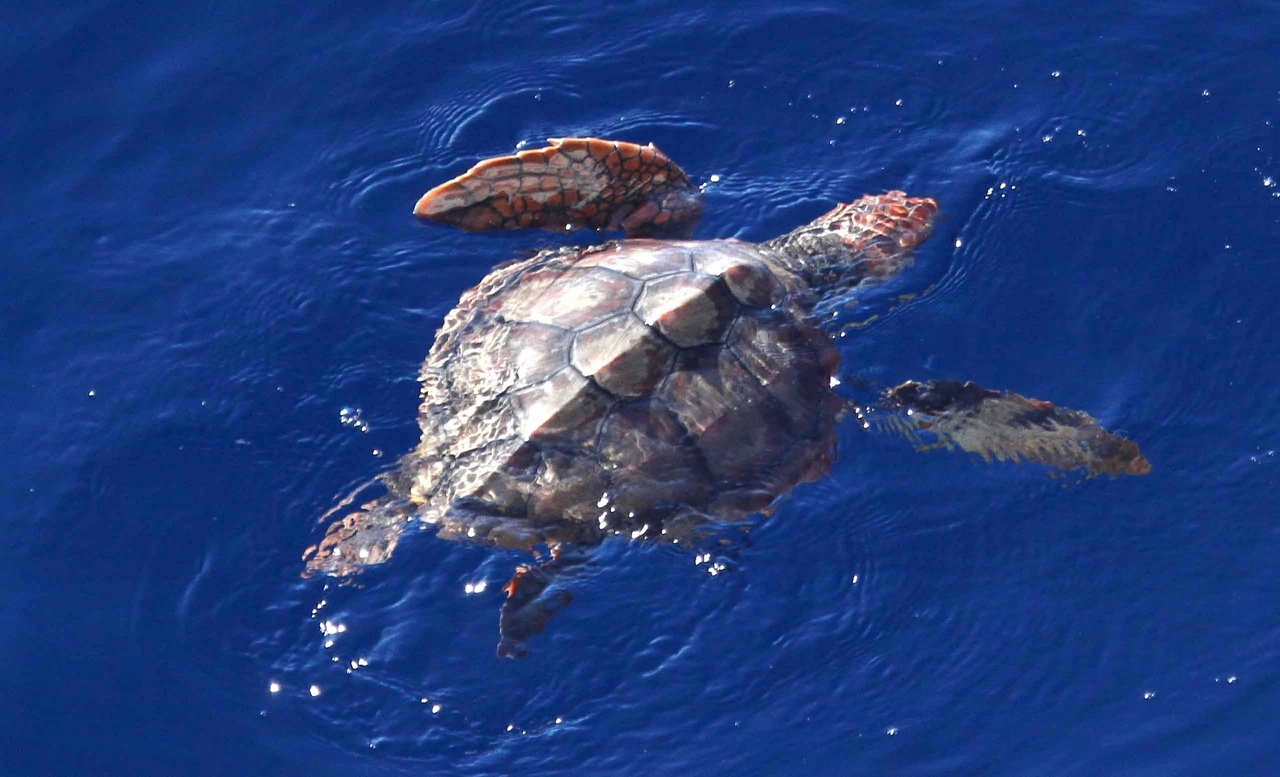 Juvenile loggerhead turtle in the California Current. Photo: NOAA Fisheries/Paula Olson