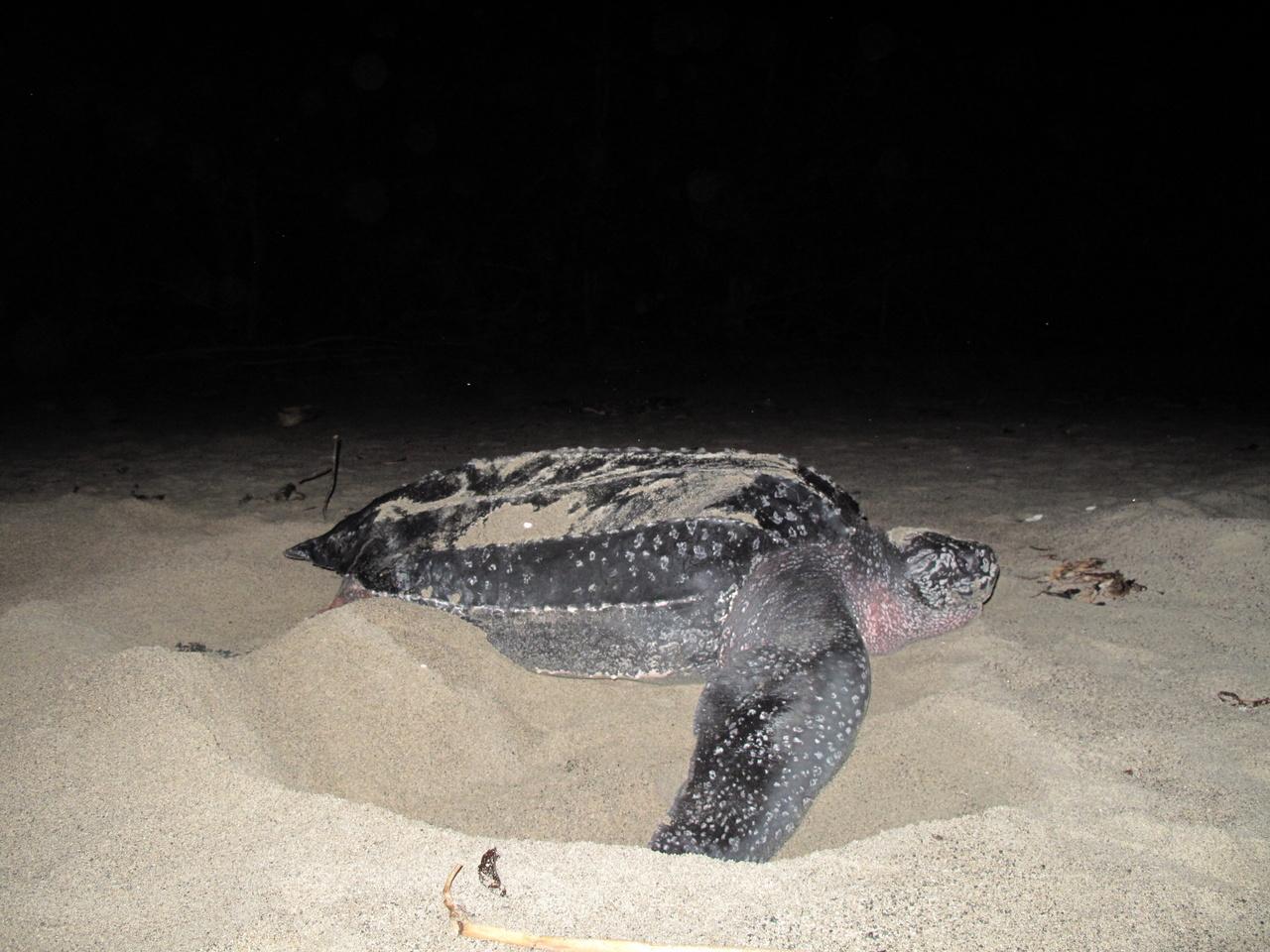 Leatherback turtle nesting in Jamursba-Medi, Papua, Indonesia. Photo: NOAA Fisheries/Manjula Tiwari