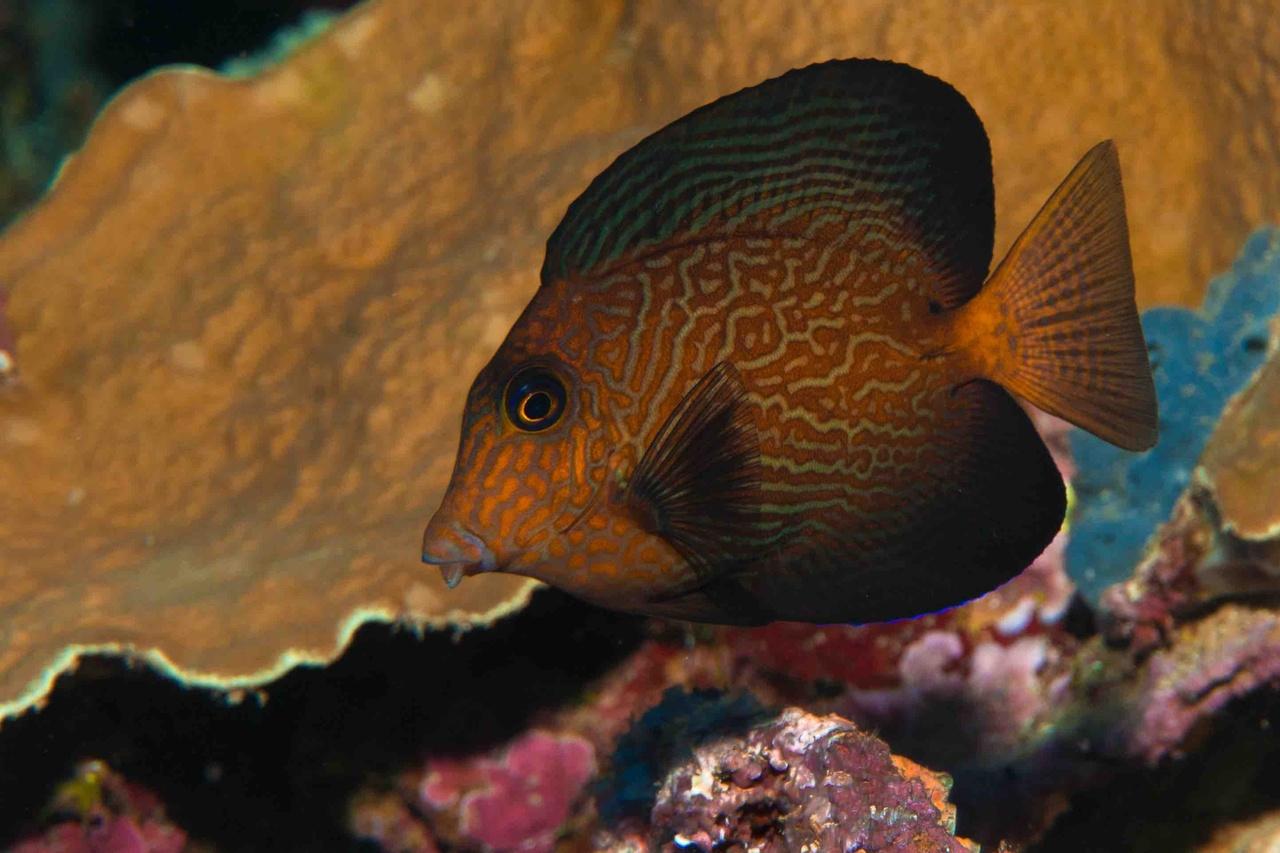 Juvenile Hawaiian bristletooth surgeonfish