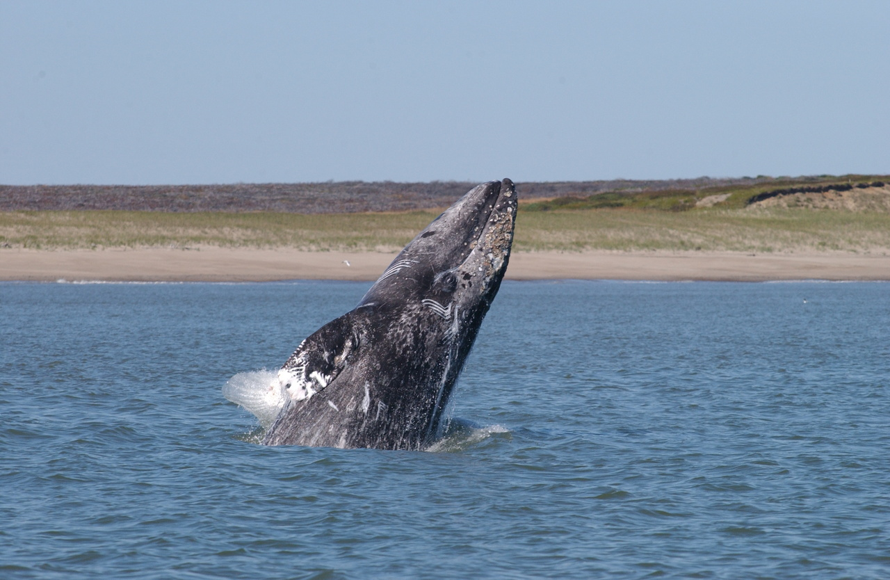 Western North Pacific Gray Whale Breaching. Photo: NOAA Fisheries/Dave Weller