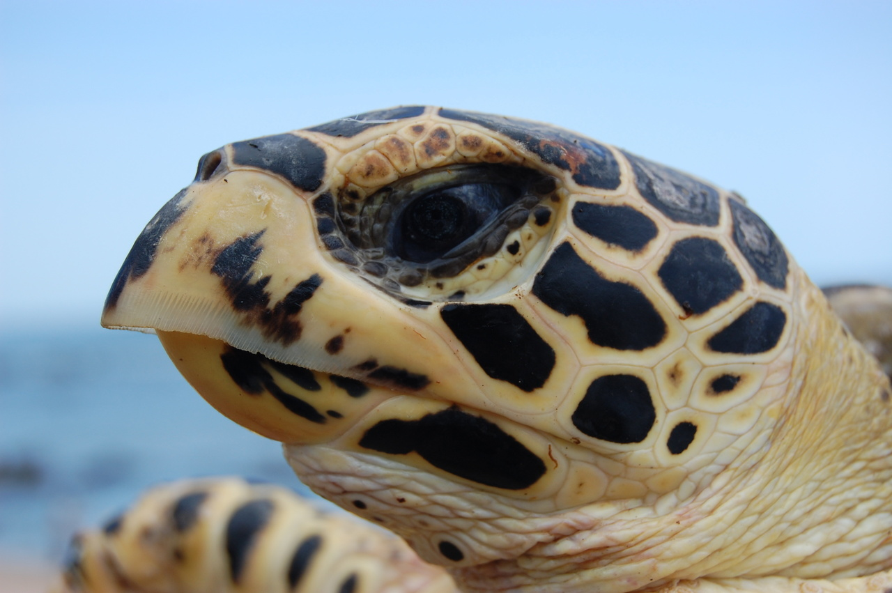 Juvenile hawksbill turtle in the Gulf of California. Credit: Alexander Gaos