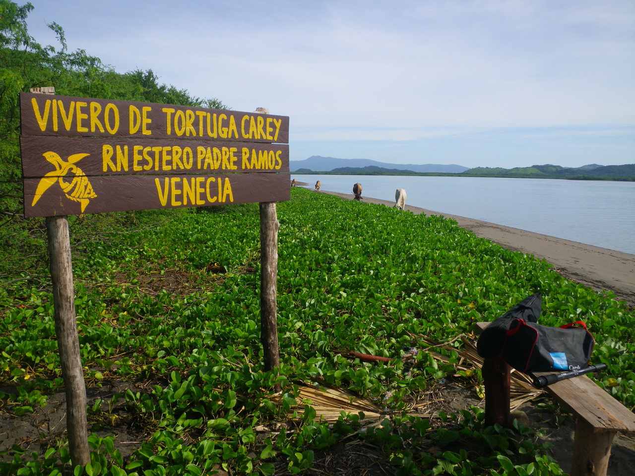 Shoreline near a hawksbill nursery for protecting eggs in Estero Padre Ramos, Nicaragua – notice the mangrove-lined shores in the background.Photo: JA Seminoff