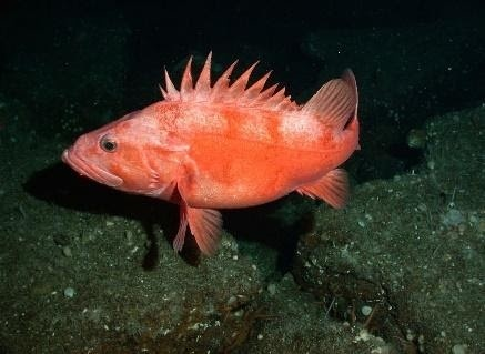 Underwater photo of a Cowcod rockfish with a black ocean backdrop.
