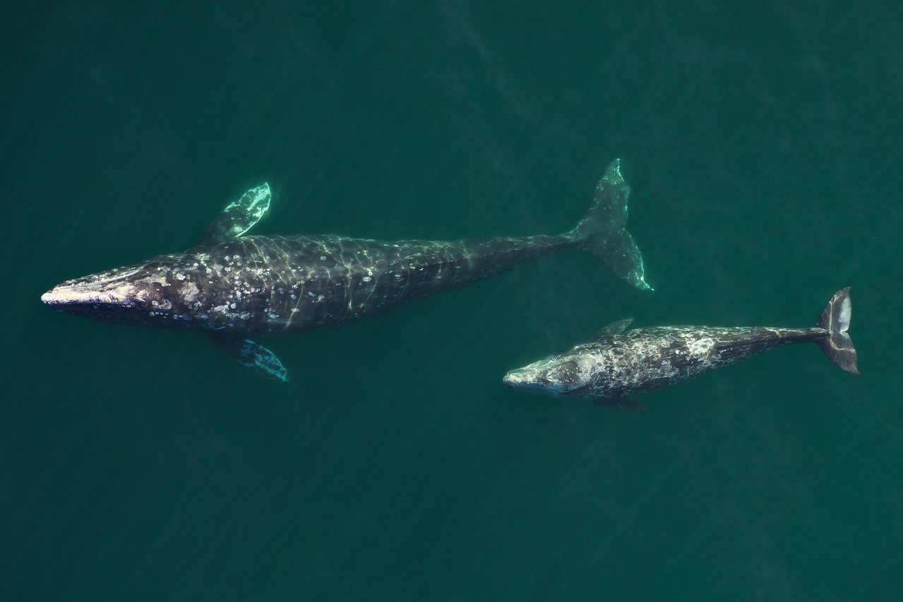 Photograph of gray whale cow/calf pairwhich will beused to gather information on their health. Photo: NOAA Fisheries