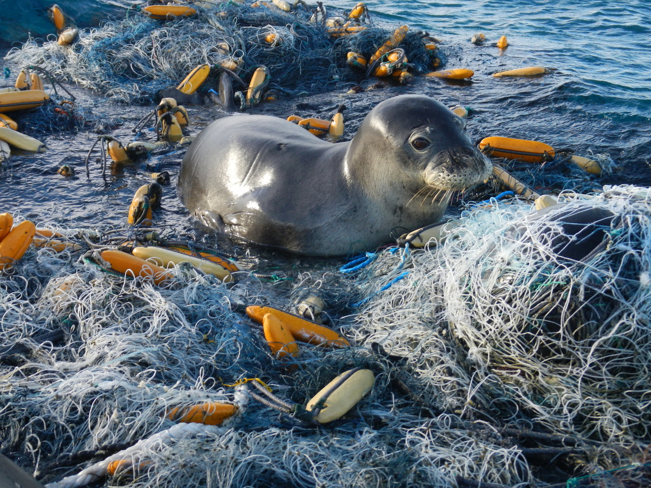 Hawaiian monk seal rests on a large derelict fishing net at Pearl and Hermes Atoll