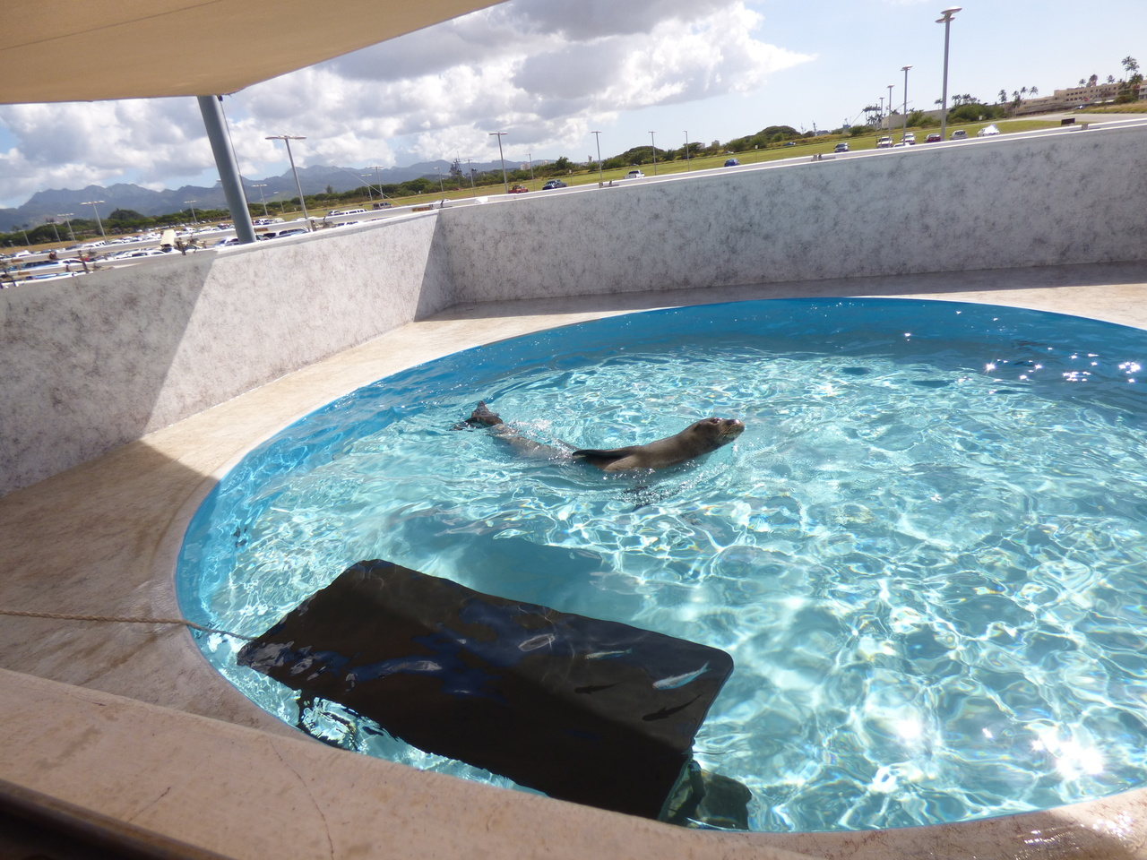 RO28 swimming in the pool at NOAA facility.